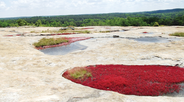 A pool of diamorpha adds a stark contrast to weathered rock surface at Arabia Mountain. Photo by John Hewitt