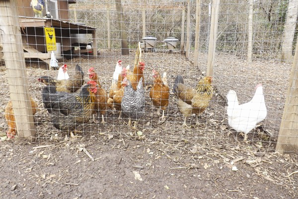 Leghorn, Barred Rocks and Buffington are a few of the breeds of chickens that roost at the Wylde Center.