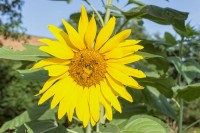 Bees are attracted by sunflowers and help pollinate plants in the garden.