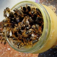 Honey Bees swarm inside a jar Courtesy of Honey Bee Haven