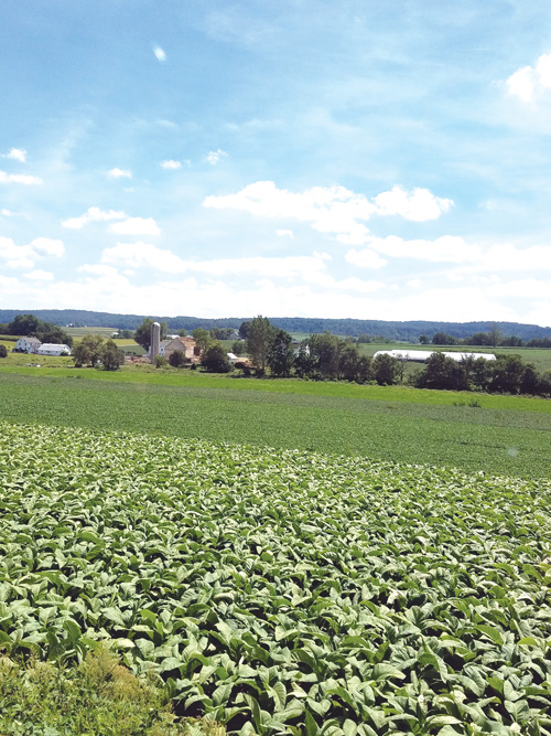 Crops of tobacco and corn can be viewed while riding the rails in Pennsylvania.