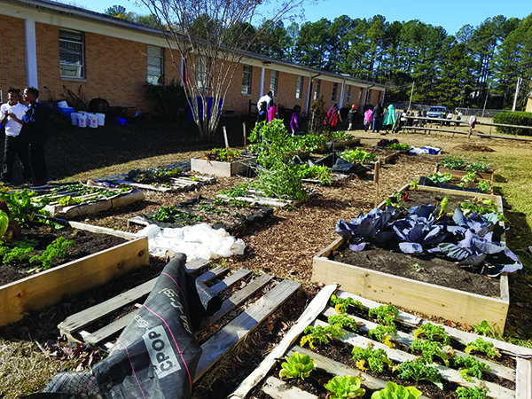 Collards, kale, Swiss chard are among the winter vegetables growing in the garden at Stoneview Elementary School. Photo by Gale Horton Gay